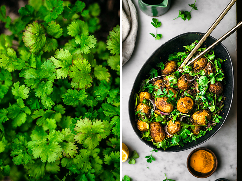 Left side: cilantro macro in garden. Right: curry potato salad in black bowl, top view.