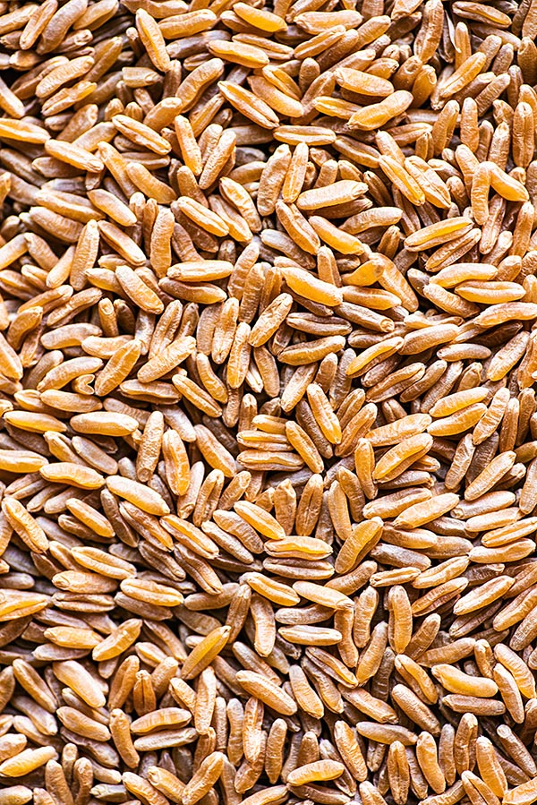 Close up of kamut grains.