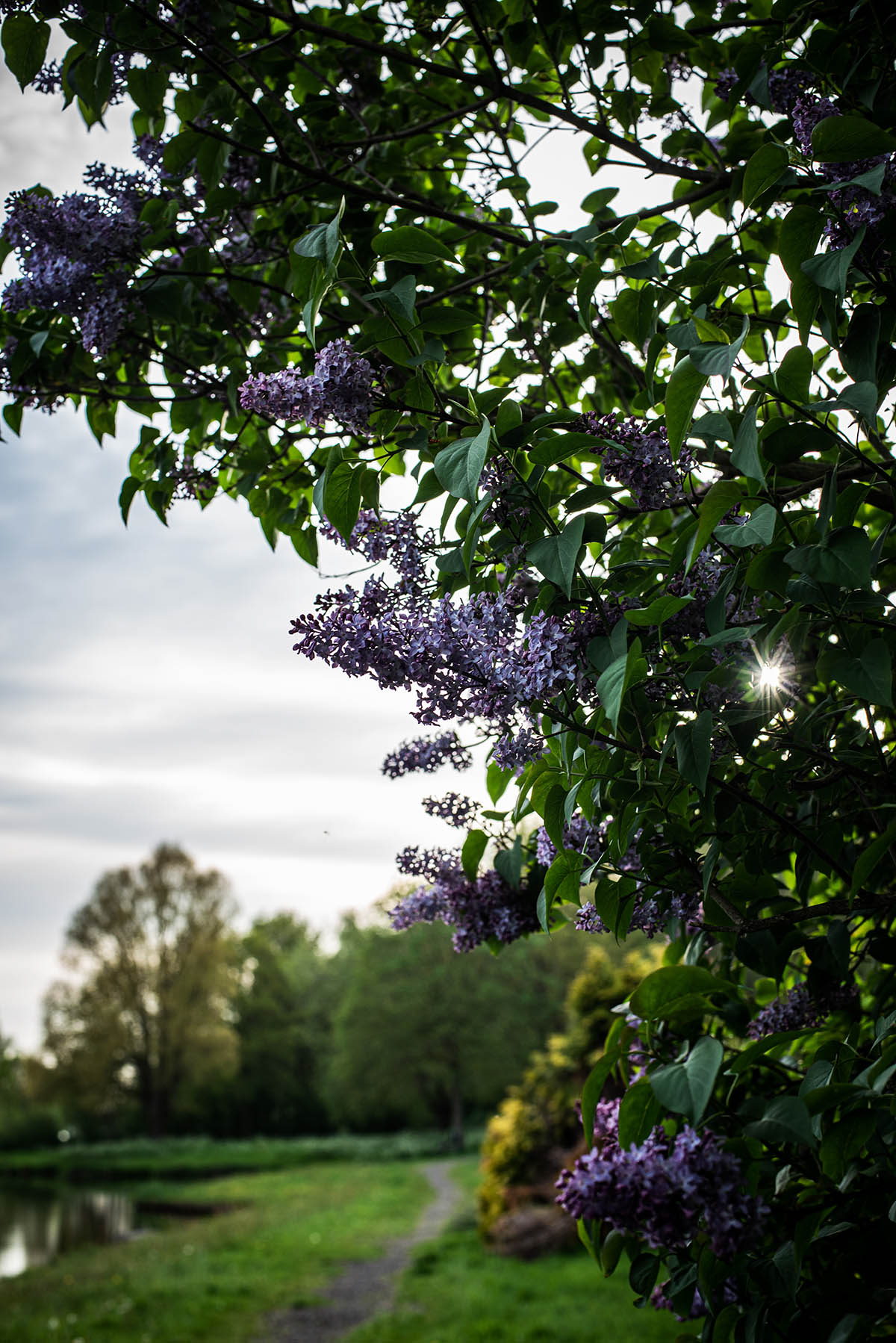Lilac bush in foreground with sun peeking through branches and park behind.
