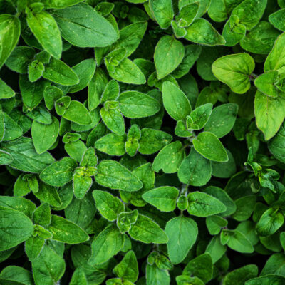 Top down view of a bed of marjoram.